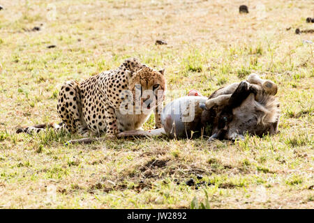 Cheetah (Acinonyx jubatus) feasting on a juvenile wildebeest (Connochaetes taurinus), looking at the camera fiercely - Stock Image