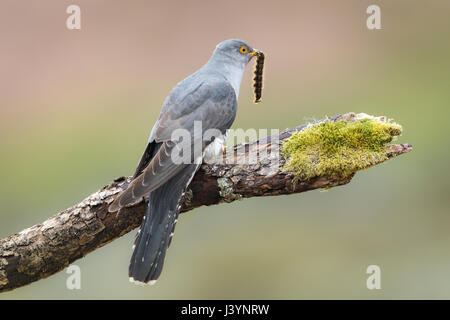 Male Cuckoo (Cuculus canorus) perched on a branch feeding on a moth in the Brecon Beacons, Wales, UK - Stock Image