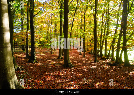 Autumn sunlight brings mellow colours in beech woods conveying a peaceful,tranquil feeling to assist general wellbeing .Somerset.UK - Stock Image