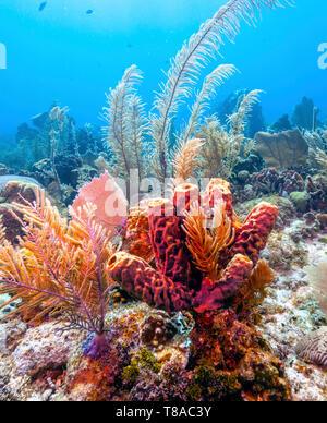 Coral reefoff the coast of the island of Roatan Honduras - Stock Image