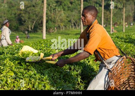 Tea Harvesting, Ugandan Man Harvests Tea in Ankole region, Uganda - Stock Image