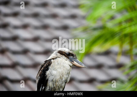 Australian Kookaburra sits on a fence drying itself after a storm - Stock Image