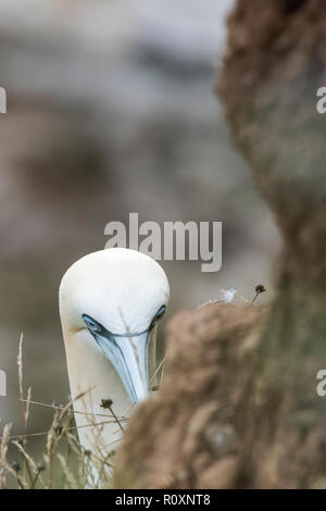 A juvenile gannet keeping its eyes on visitor to Bempton Cliffs, Yorkshire, UK - Stock Image