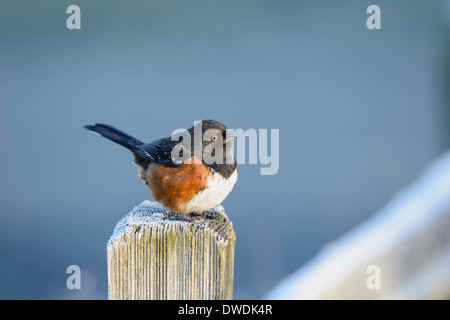 A spotted towhee sanding on a frosted fence post. - Stock Image
