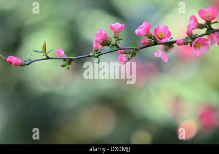 Wild apple blossom background - Stock Image