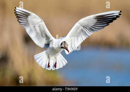 Black-headed Gull looking like a 'White angel'. - Stock Image