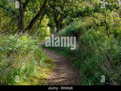 Reeds and alder line the shady footpath along the northern side of Horsey Mere on the Noroflk Broads. - Stock Image