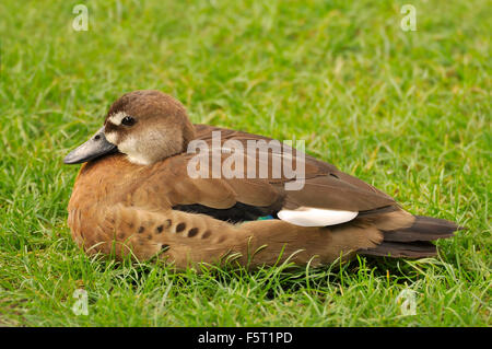 Brown Duck nesting in grass - Stock Image