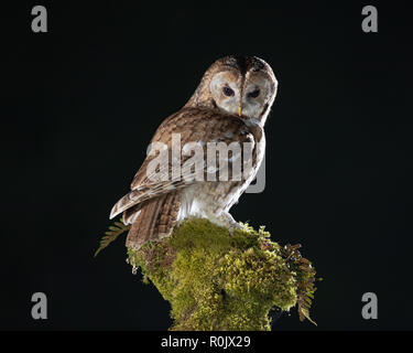 Tawny Owl (Strix aluco) perched on a mossy tree stump at night, Scotland - Stock Image