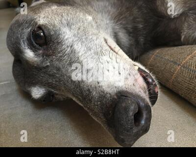 A greyhound lying down with its head on the floor. - Stock Image