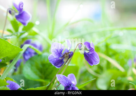 Spring background with violet and grass - Stock Image