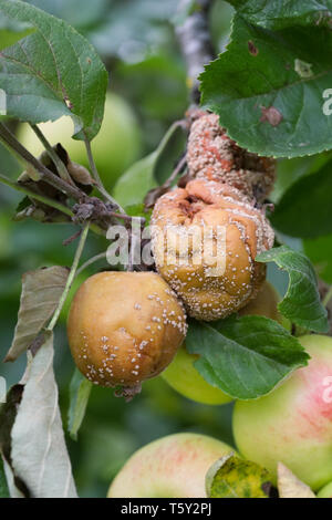 Monilinia. Brown rot on apples in an English Orchard. - Stock Image