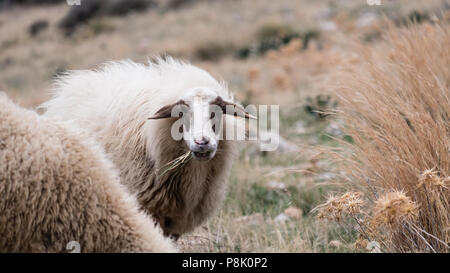 Mountain sheep with her full winters coat on, high on the hills of Saronida eating grass whilst staring into the camera, East Attica, Greece, Europe. - Stock Image