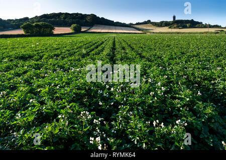 Potato Fields in flower near Scrabo in County Down - Stock Image