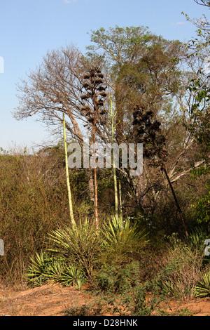 Sisal Plants, Agave sisalana, Agavaceae. Zombitse Vohibasia National Park, Between Ranohira and Toliara, Madagascar, - Stock Image