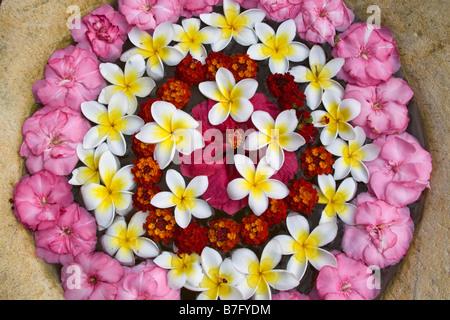 Resort Moevenpick Spa Frangipani flowers Mauritius Africa - Stock Image