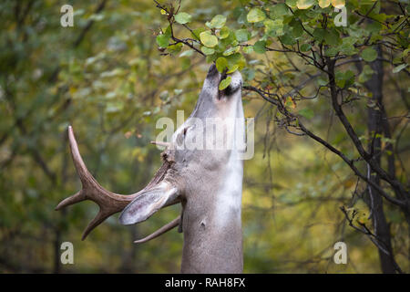 White-tailed Deer buck (Odocoileus virginianus) feeding on Saskatoon Berry shrub (Amelanchier alnifolia) - Stock Image