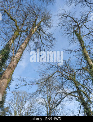 Leafless winter deciduous trees towering into a blue sky. - Stock Image