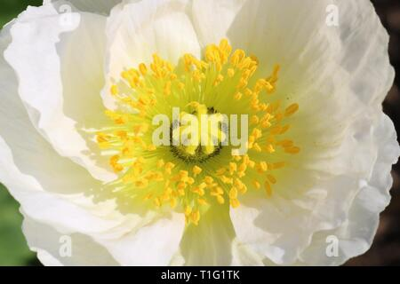 Macro shot of a white poppy seed flower with its yellow stamen and pistil - Stock Image