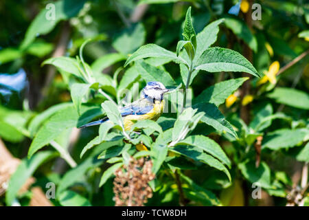 An adult blue Tit - Parus caeruleus with bright plumage is perched in a buddleia bush surrounded by green leaves - Stock Image