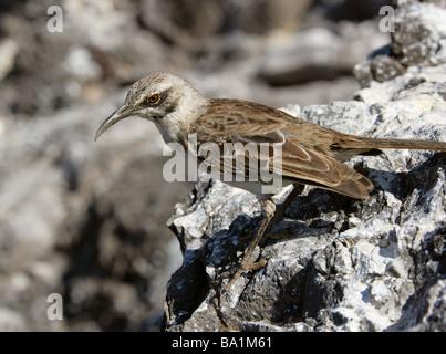Hood or Espanola Mockingbird, Nesomimus macdonaldi, Mimidae, Espanola Island, Galapagos Islands, Ecuador, South - Stock Image