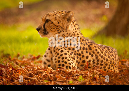 a leopard laying on the ground - Stock Image