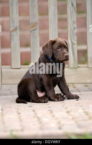 Brown Labrador Retriever, puppy sitting in front of a wooden gate - Stock Image