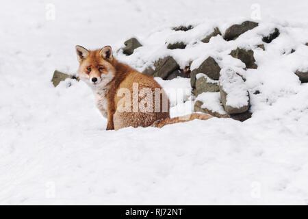 Fuchs im Harz, Wernigerode, Deutschland - Stock Image