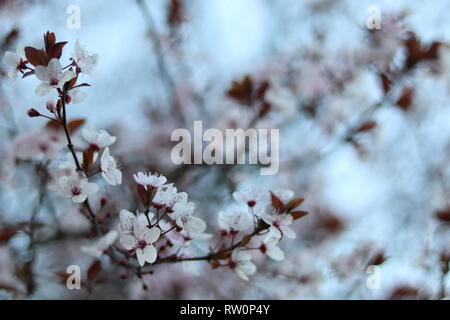 Spring is coming and trees (cherry) are blooming with all the power of nature. - Stock Image