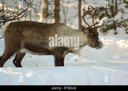Portrait of a reindeer (Rangifer tarandus) standing in deep snow in a forest - Stock Image