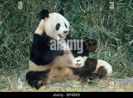 Giant panda mother with 5-month-old baby, Wolong, China - Stock Image
