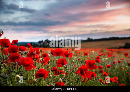 Detailed close up of natural, wild, red poppy flowers (Papaver rhoeas) in  UK poppy field at sunset, without people; poppy heads in evening sunlight. - Stock Image