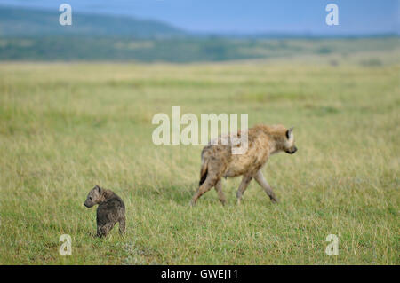 Mother hyena and baby in the Savannah, Kenya. Africa. - Stock Image