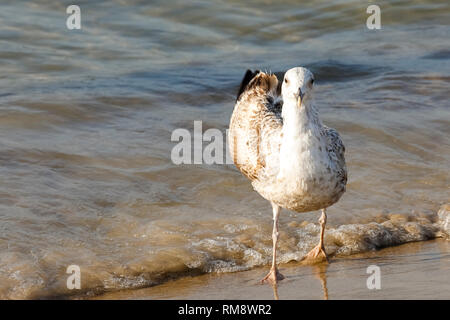 Cold waters of the Baltic Sea and one seagull. Cold waters of the Baltic Sea, sandy beaches and gulls that often visit these areas, which is easily ob - Stock Image