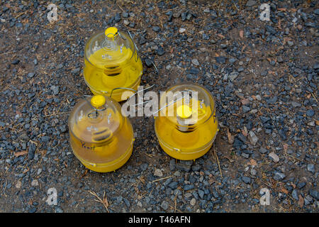 Three yellow pheromone fly traps on the ground, top view, outside - Stock Image