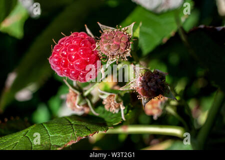 close-up of the ripe raspberry in the fruit garden - Stock Image