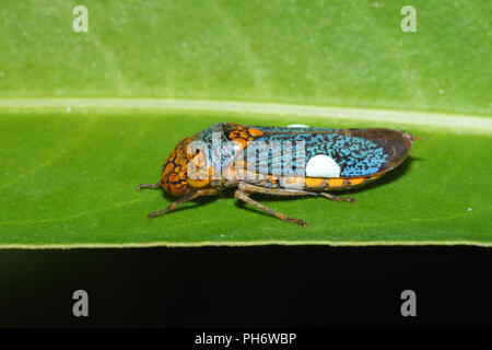 Portrait of a sharpshooter leafhopper. - Stock Image