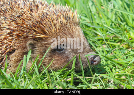 Hedgehog in the green grass closeup - Stock Image