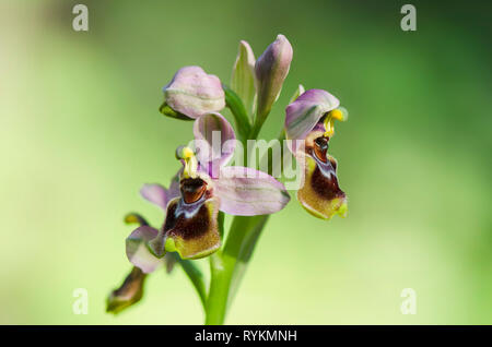 Sawfly orchid, Ophrys tenthredinifera, Andalusia, Southern Spain - Stock Image