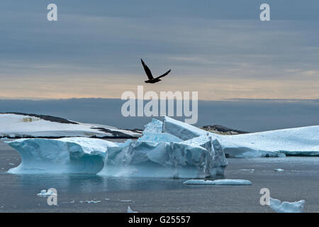 Brown Skua flying over icebergs Cuverville Island , Antarctica - Stock Image