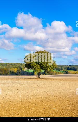 Walnut tree, Juglans regia, in middle of farmland, Indre-et-Loire, France. - Stock Image