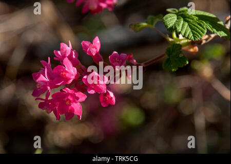 Red-Flowering Currant (Ribes sanguineum), an early-blossoming wild shrub, in the Oregon Cascades - Stock Image