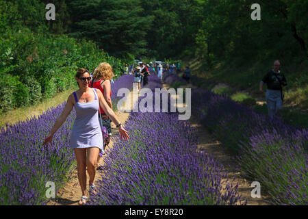 A young woman walking through the lavender at Notre-Dame de Sénanque  Abbey Provence France - Stock Image