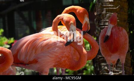 Pink Caribbean flamingo, Phoenicopterus ruber, in the middle of flock flamingos during breeding season. - Stock Image