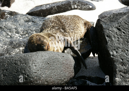 Sleeping Galapagos Sea Lion, Zalophus wollebaeki, Espanola Island, Galapagos Archipelago, Ecuador - Stock Image