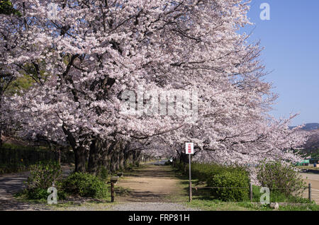 Asahi River Cherry Road with Cherry Blossoms in full bloom, Okayama, Japan - Stock Image