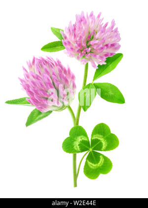 Isolated flower. Pink clover with stem and leaves isolated on white background with clipping path - Stock Image