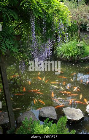 Koi Carp Pond and Wisteria, The Japanese Garden, Cottered, Hertfordshire. - Stock Image