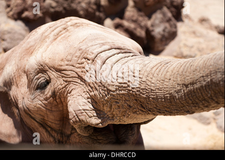 Elephant head close up - Stock Image