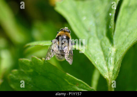 Hoverfly of the  Eristalis family resting in the sun on the leaf of a meadow Cranesbill flower - Stock Image